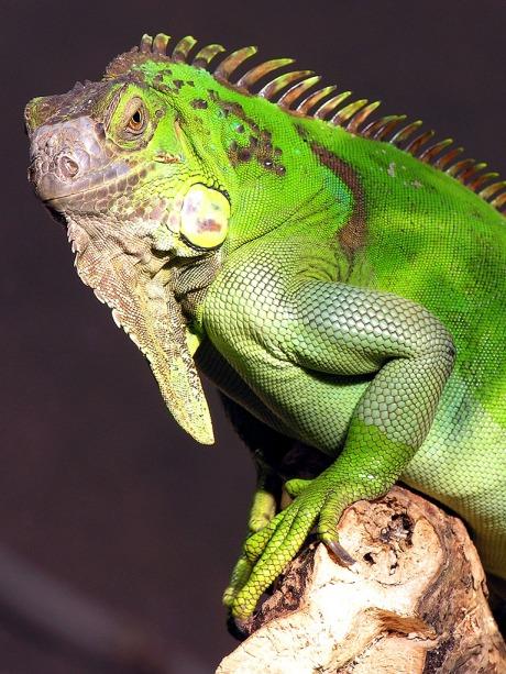 lizard_king_768x1024