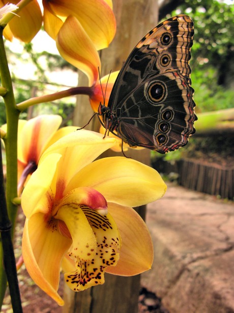 morpho_orchid_800