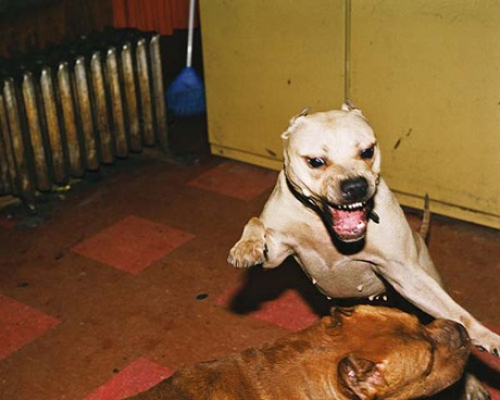 pitbull5001